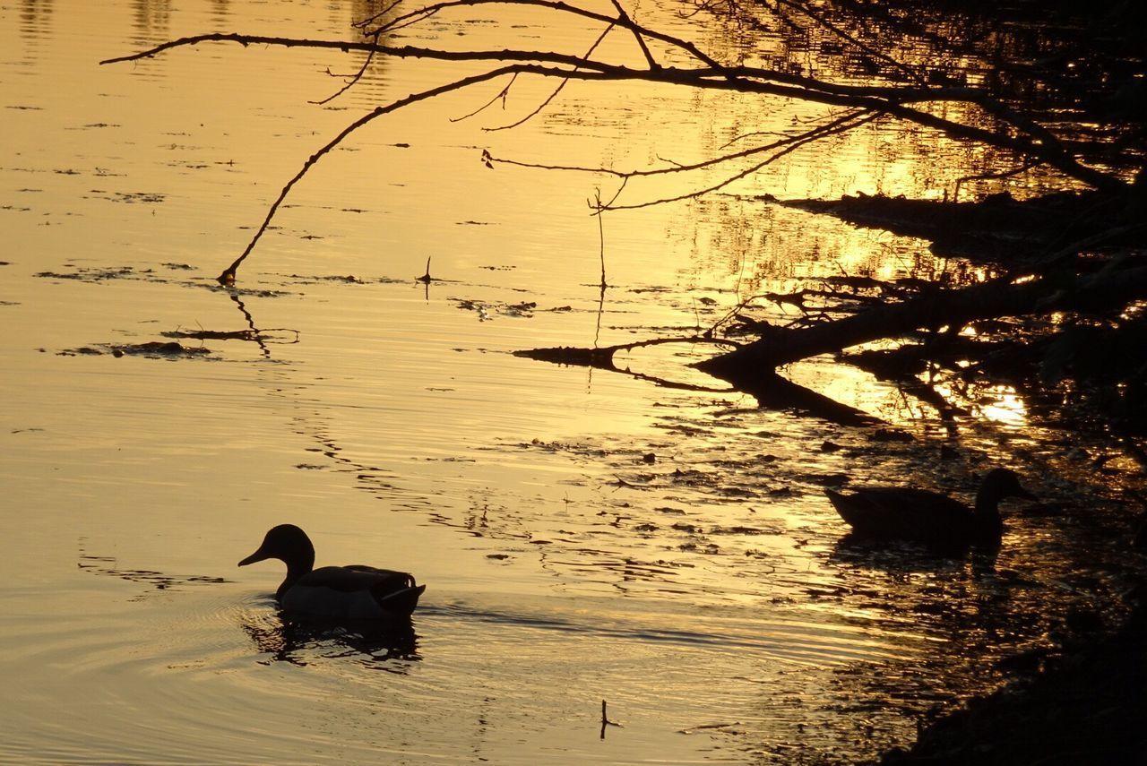 Animals In The Wild Animal Themes Nature One Animal Bird No People Animal Wildlife Outdoors Silhouette Lake Water Sunset