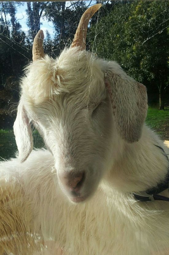"""Spiderwebs """"Ahhhh!!! Its in my hair!!!!!!"""" Goat The View From My Window Enjoying Life Mirrorless Funny Things"""