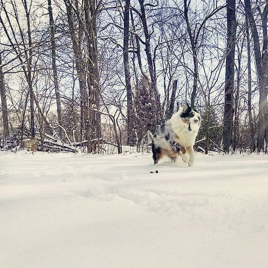 Play time is the best time. Snow Australianshepherd Aussie Playtime Addy Bluemerle