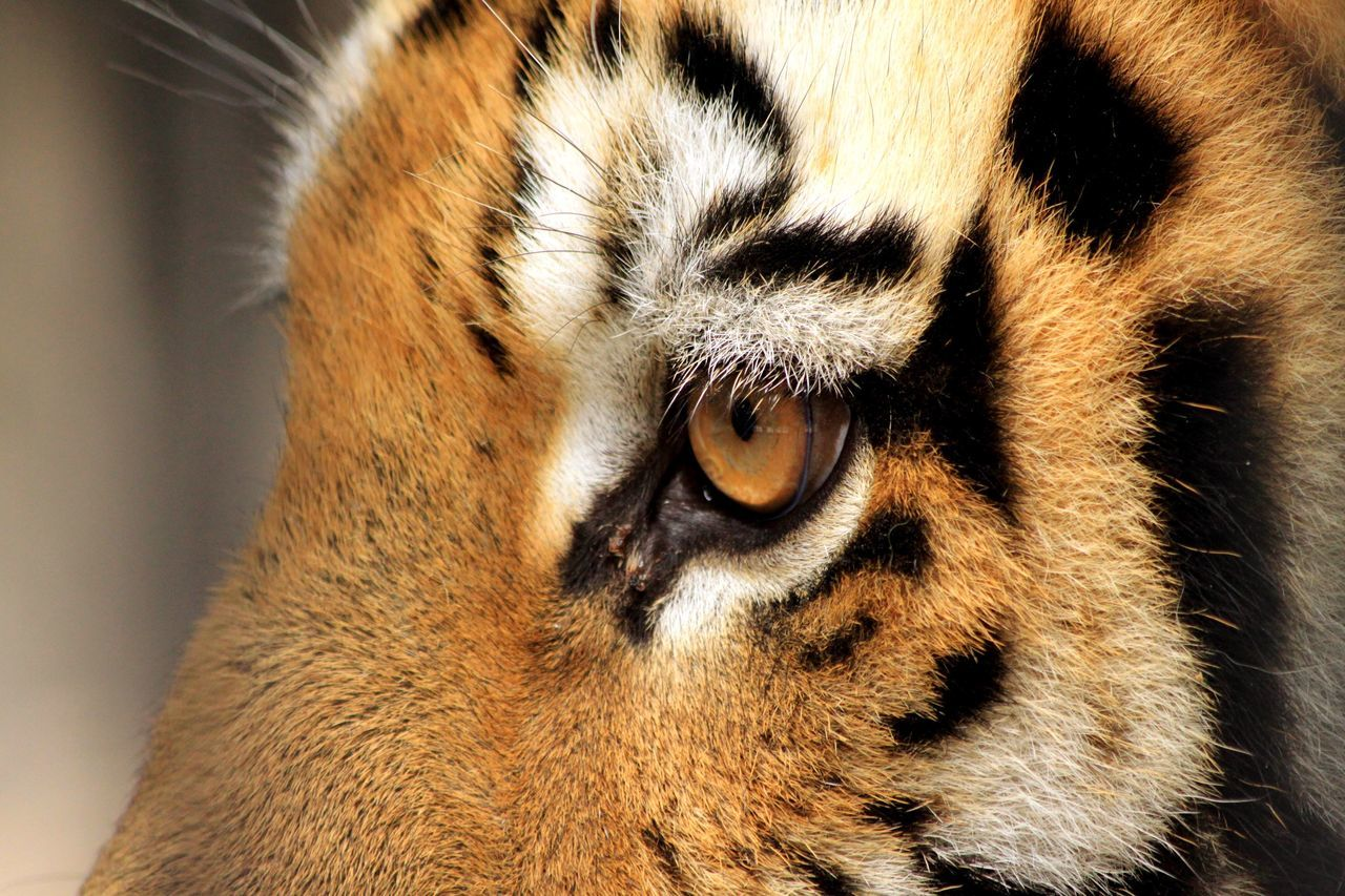 Россия Новосибирск Новосибирскийзоопарк тигр глаз глаз тигра