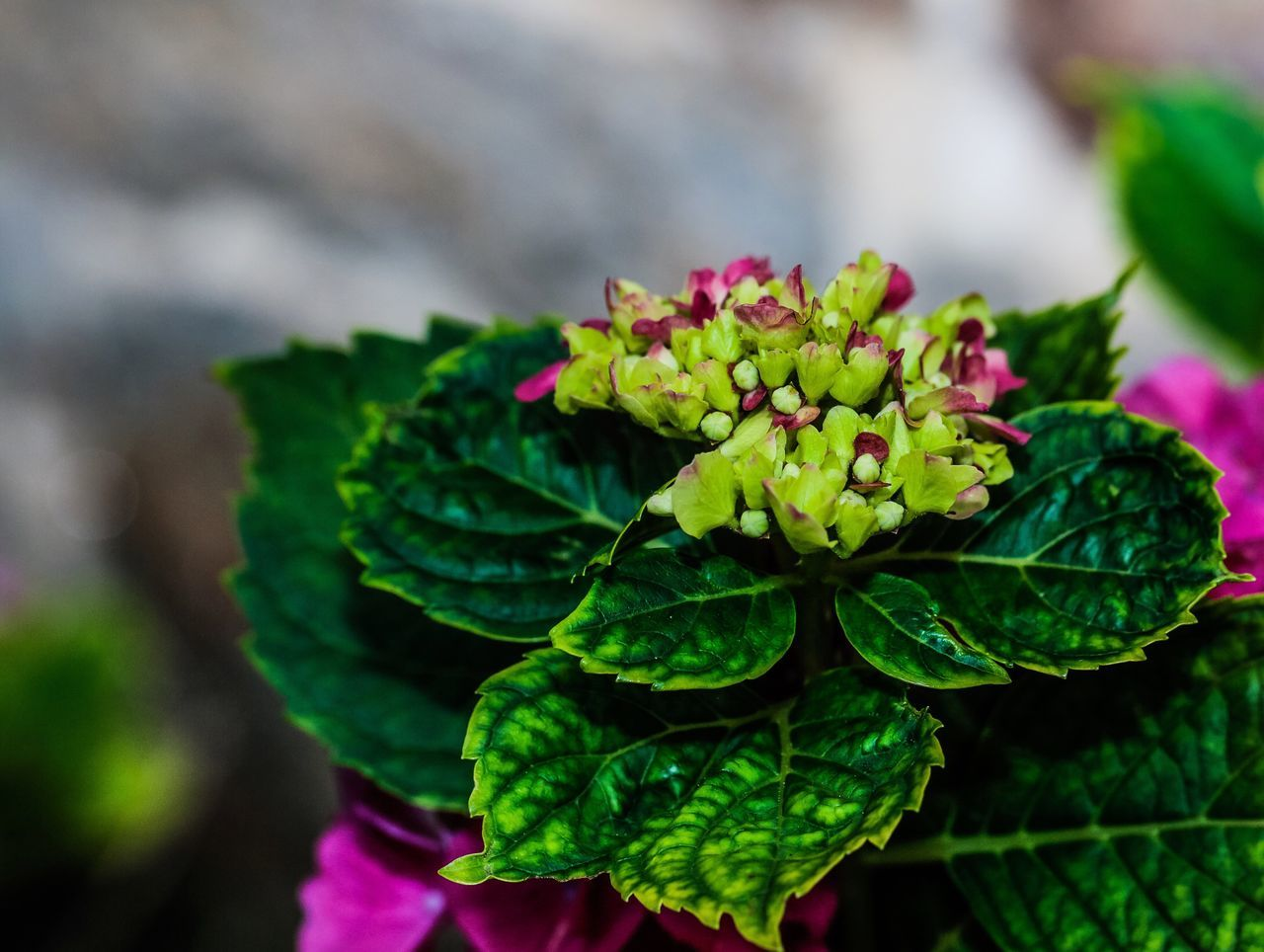 In two days this will be magnificent. Hydrangea Plant Plantlife Flower Flowers Garden Photography Budding Flower