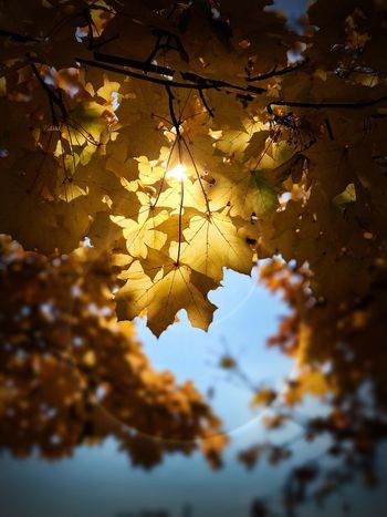 Leaf Nature Beauty In Nature Maple Leaf Autumn Maple Outdoors No People Sunlight Day
