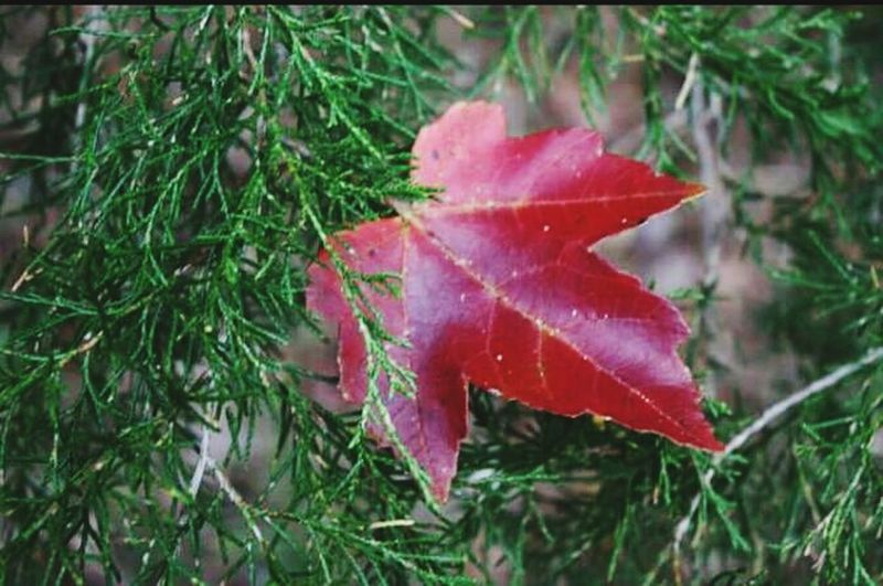 Maple leaf in evergreen tree. Soft Maple Maple Leaf Evergreen Red And Green Fall In Florida Contrasting Colors Outdoor Photography Nature Photography