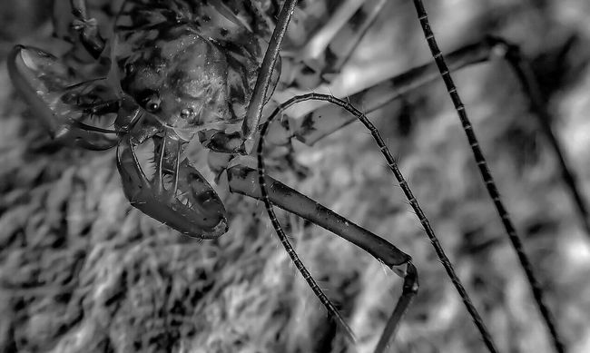 camouflage Tailless Whip Scorpion Insect Paparazzi Arachnophobia Spiderworld Bug Portrait Macro Spider Spiderland Spider Portrait Spiderama Macro Photography Macro Addict Attack Of The Macro Collection! Close-up Macro_collection Black & White Black And White Black&white EyeEm Macro