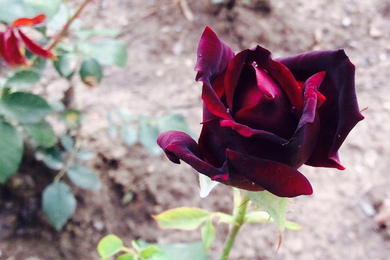 Beautiful stock photos of rosen, flower, petal, fragility, freshness