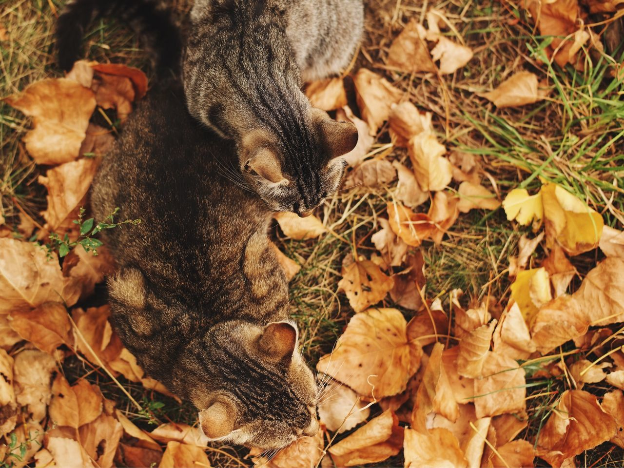 Furry camouflage... Leaf High Angle View Feline Nature Grass Autumn Leaves Autumn Colors Fall Colors Fall Leaves Cat Domestic Cat Animal Themes Pets Close-up Kitty Kitten Kittens Cats Furry Furry Friends Made In Romania Found On The Roll My Favorite Photo Details Of My Life What Who Where