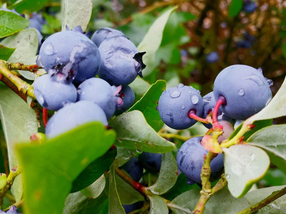 After The Rain Fresh And Beautiful Healthy Eating Healthy Fruit Blueberries Macro Fruits Blue Berry Plantation Close Up Close-up Ladyphotographerofthemonth Showcase August Beautiful Nature Raindrops On Blueberries Raindrops After Rain Visual Feast