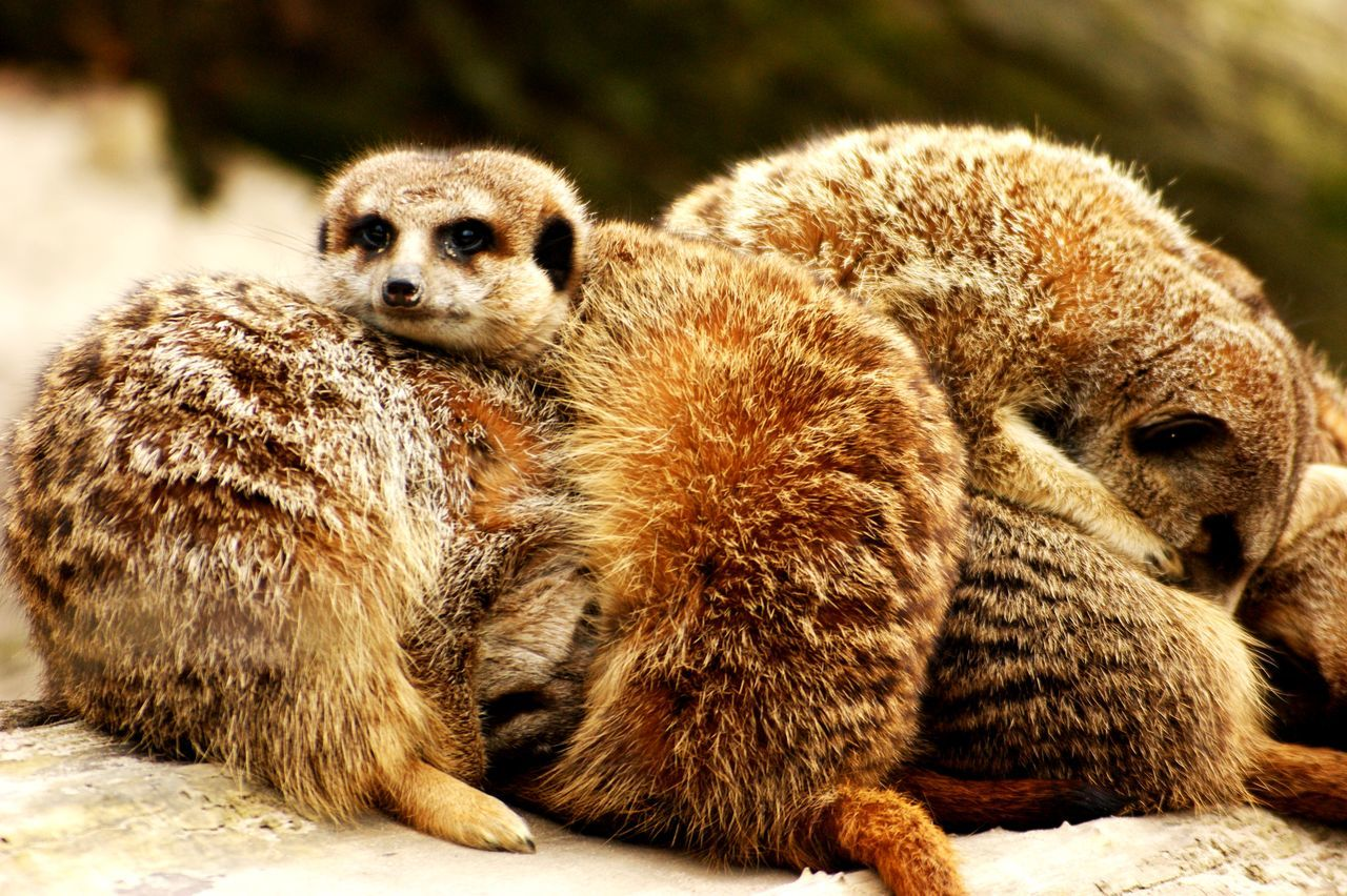 Animal Themes Animal Wildlife Animals In The Wild Close-up Day Focus On Foreground Lemur Mammal Meerkat Nature No People Outdoors Portrait