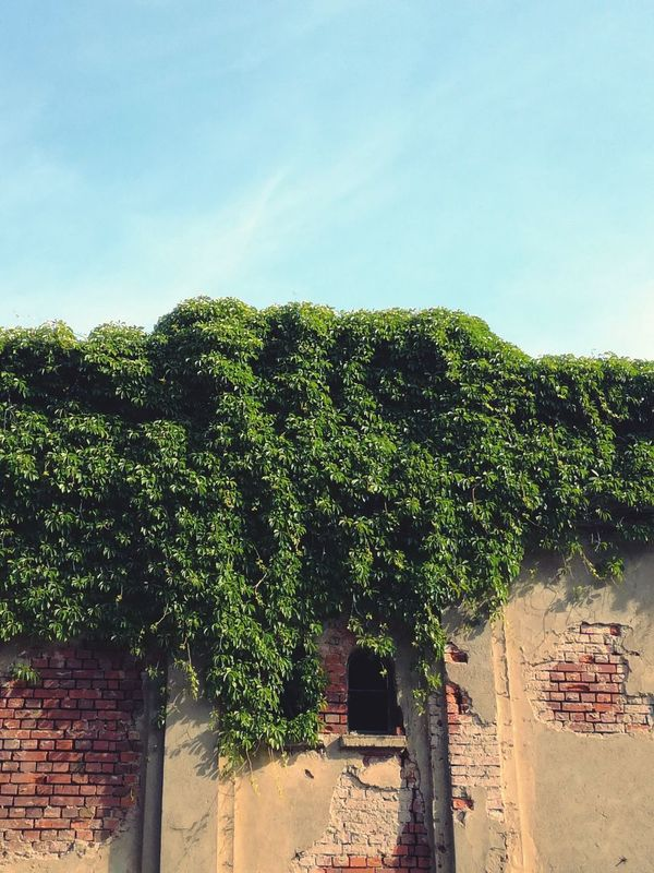 Captured with my phone, in Leipzig Ivy Ivy Leaves Ivy Covered Ivy Wall Wall Ruins Leafs Leaf Romantic Green Wall Decoration Flora Architecture Nature Day Sky Outdoors Window Façade Brick House Home No People Vintage The Architect - 2017 EyeEm Awards EyeEmNewHere