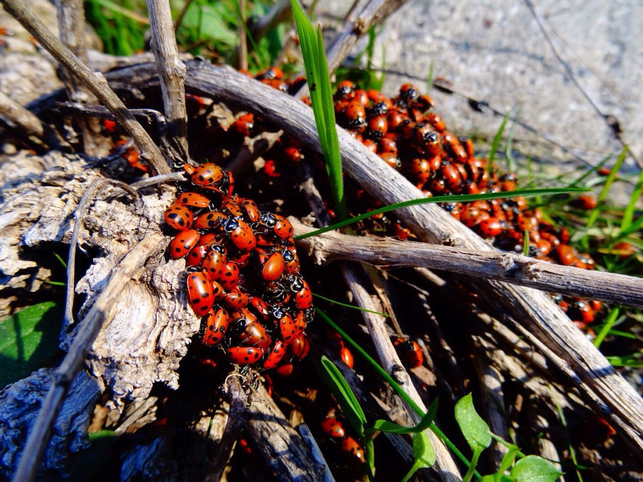 Feather River Canyon California ,ladybugs Naturee Day Outdoors No People ,anthropoids , Close-up insects ,swarm ,migration gathering ,Red and black, Beauty In Nature