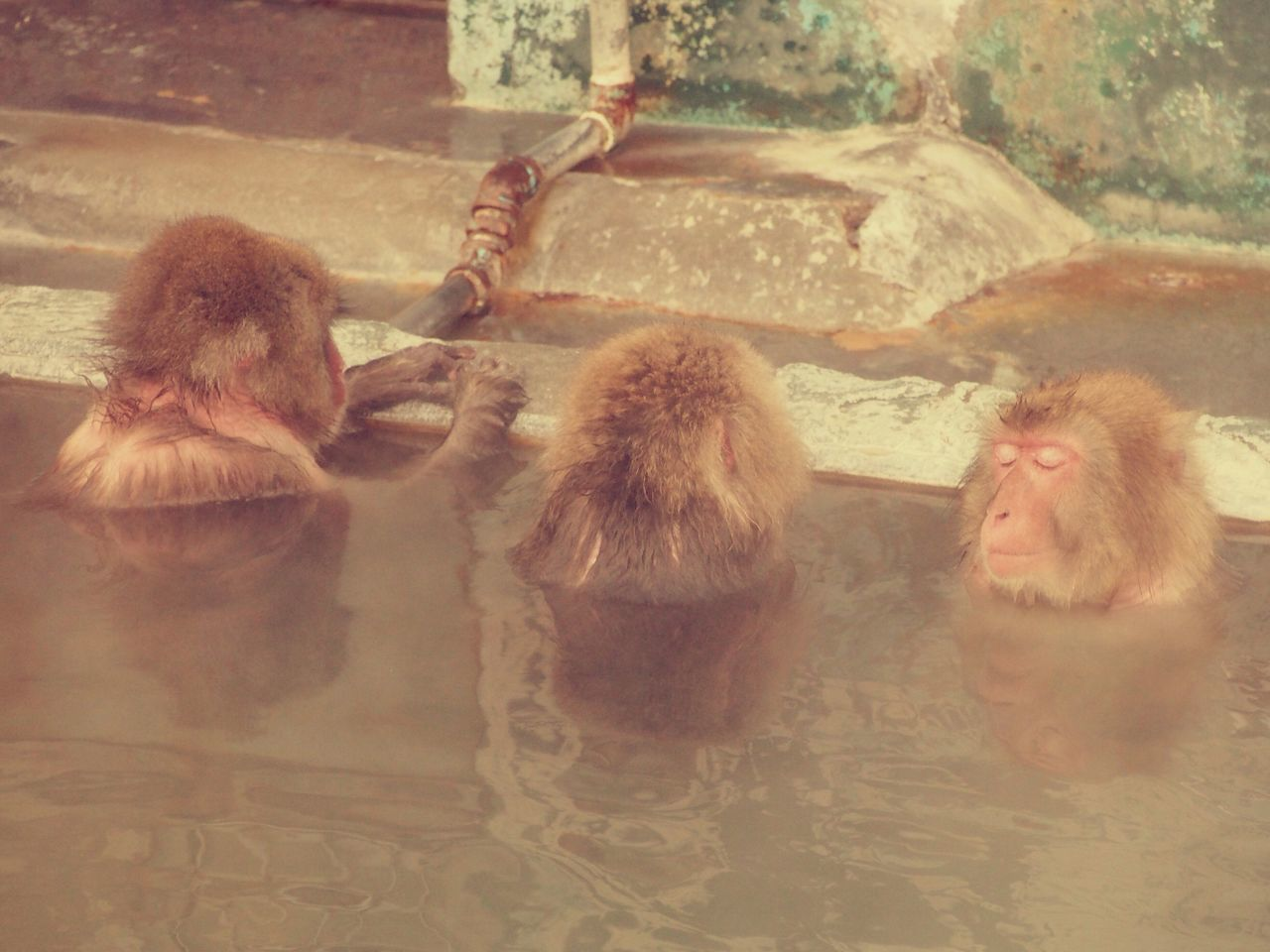 Monkeys enjoy hot spring. Monkey Hotspring Relaxing Feeling Good Hakodate Hokkaido