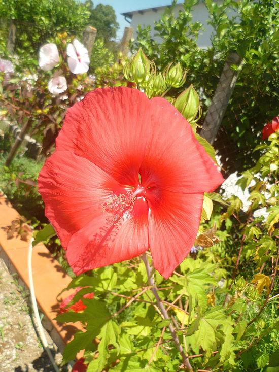 Beauty In Nature Blossom Botany Flower Flower Head Hibiscus LOTOS FLOWER Petal Single Flower