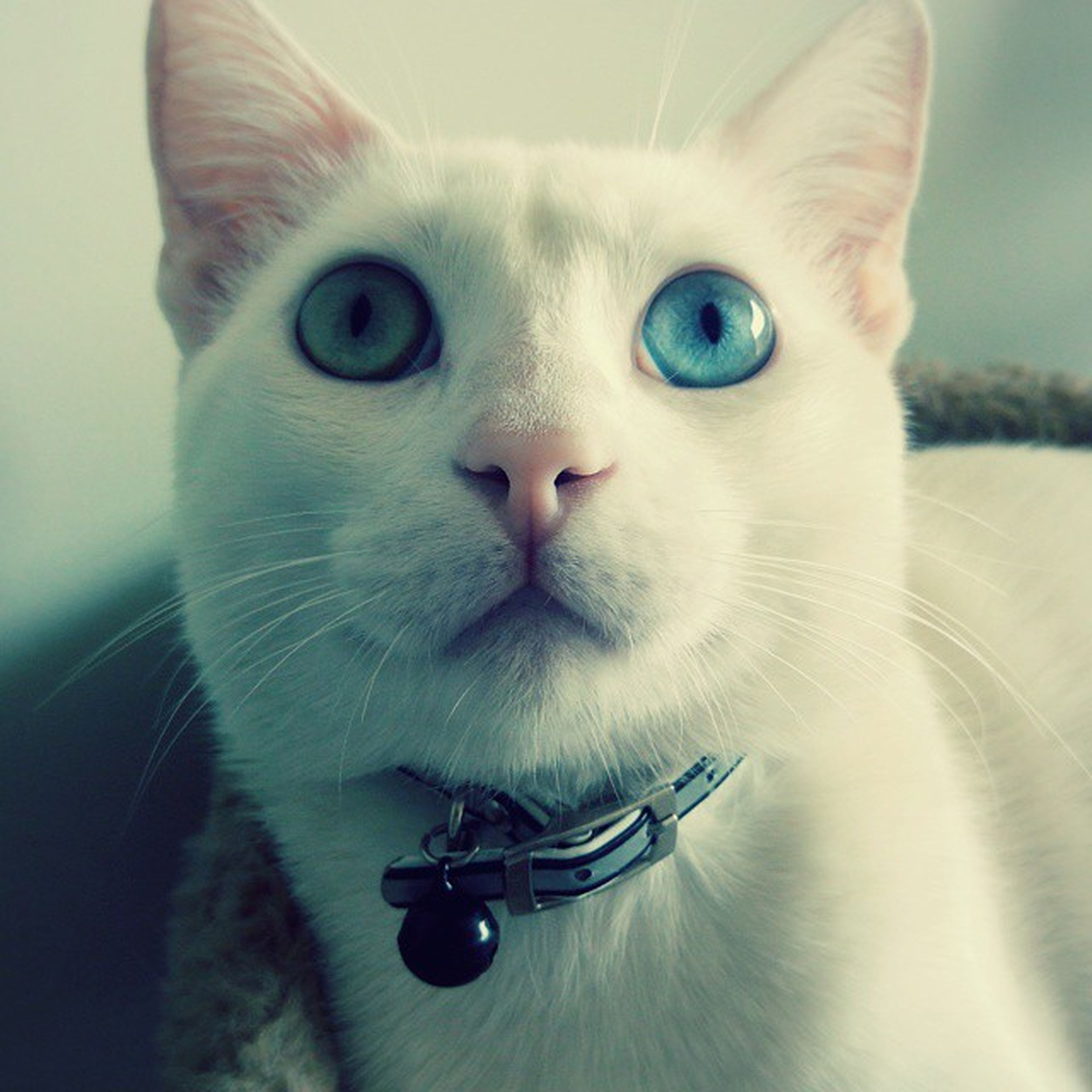one animal, animal themes, portrait, looking at camera, pets, indoors, domestic animals, close-up, domestic cat, cat, white color, front view, animal head, mammal, animal eye, whisker, no people, feline, alertness, focus on foreground