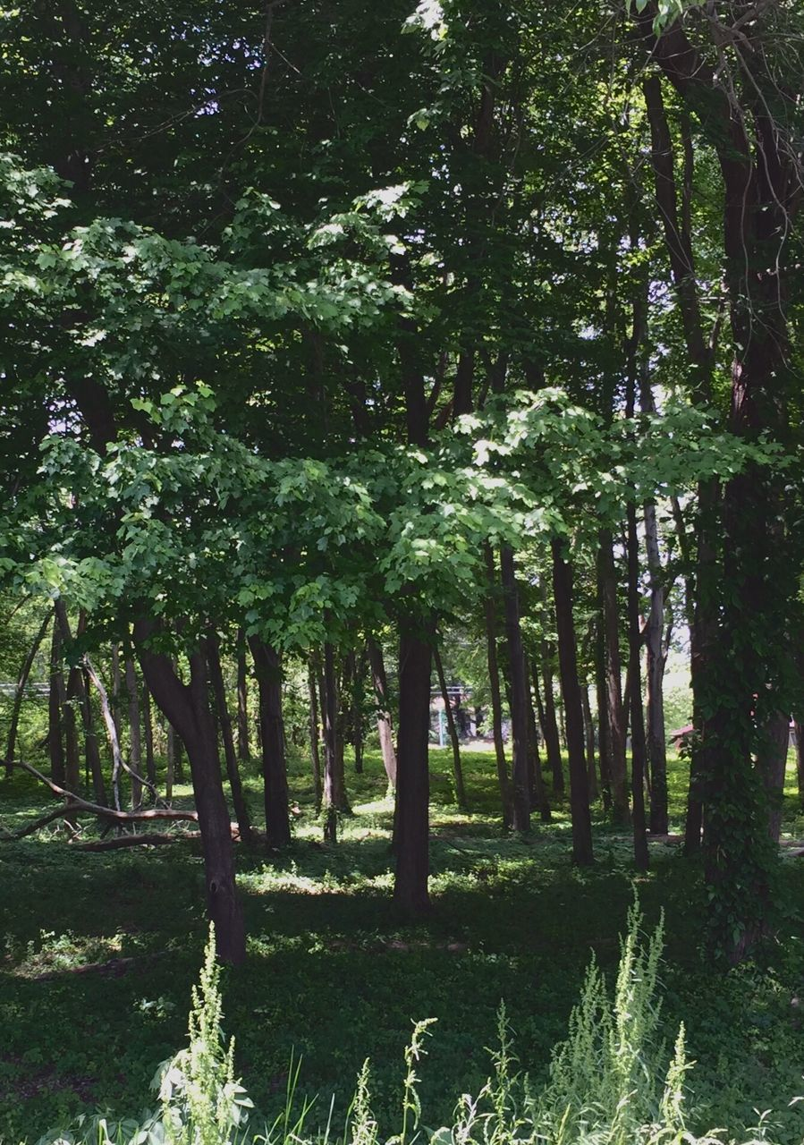 forest, growth, nature, tree, tranquility, foliage, no people, outdoors, day