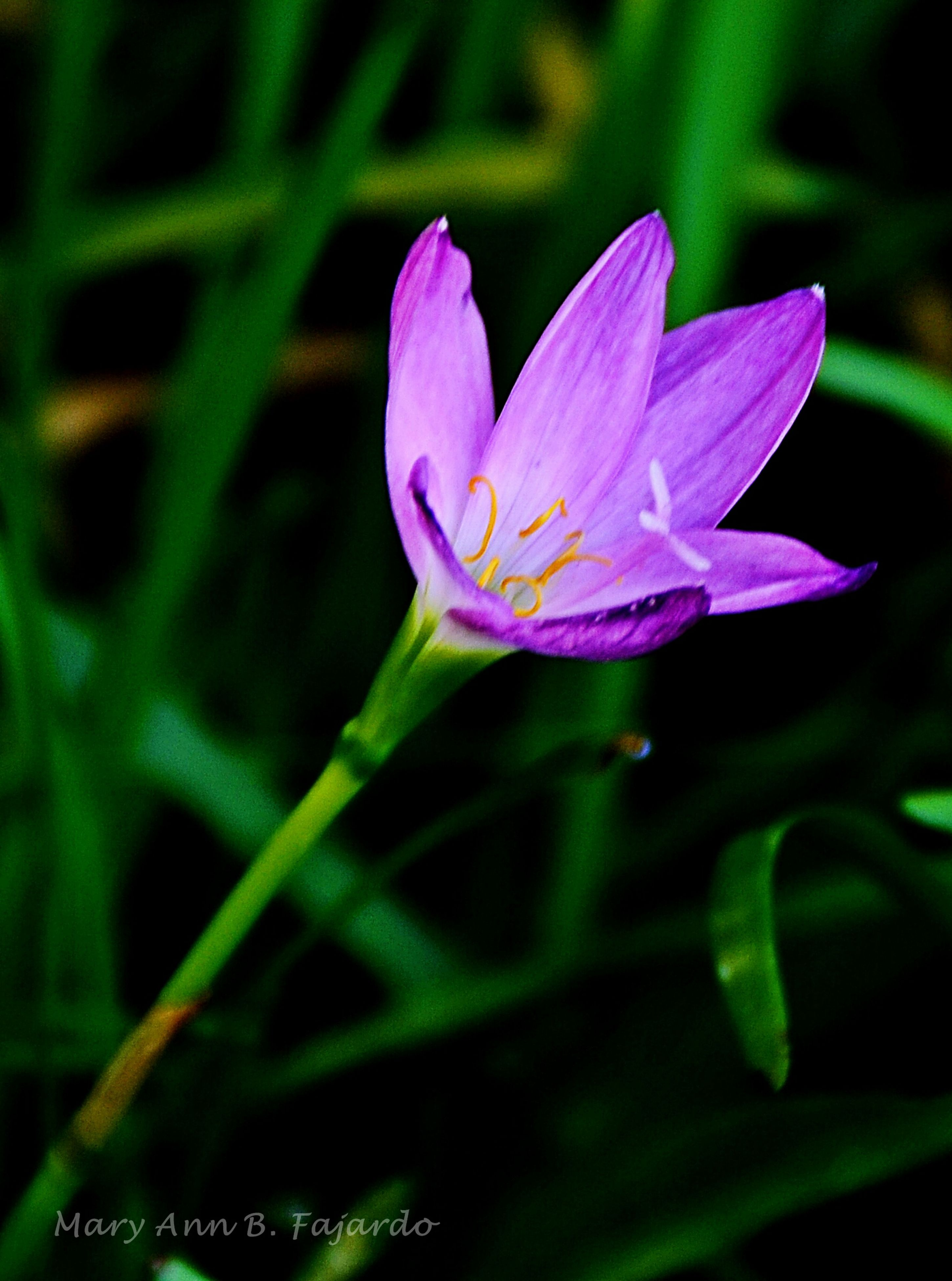 flower, petal, freshness, fragility, flower head, single flower, growth, beauty in nature, close-up, focus on foreground, plant, nature, blooming, pink color, purple, stem, in bloom, pollen, outdoors, selective focus