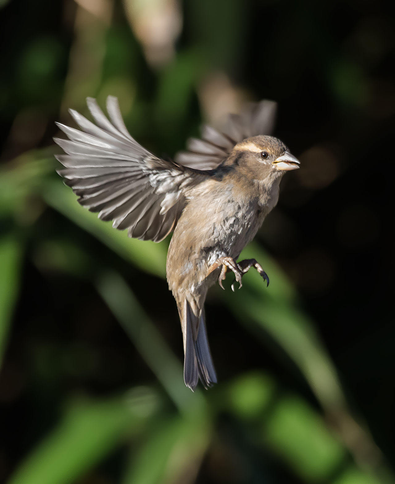 Sparrow in flight. Animal Wildlife Bird Close-up Flying Nature Outdoors Sparrow Spread Wings