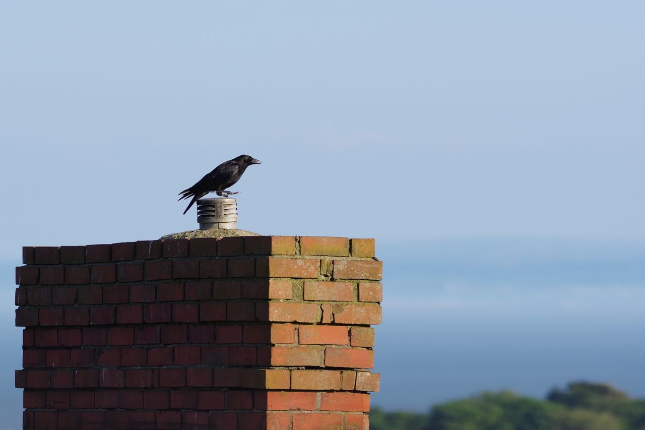 Animals In The Wild Crow Chimney Wales Blue Sky Bird Rooftop Brick Wall Bricks Brick