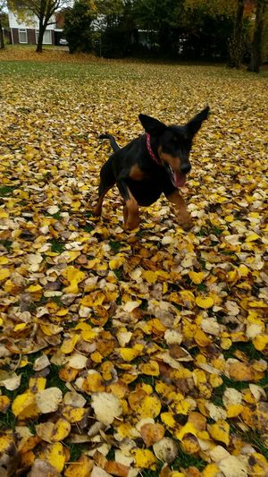 We have lift off........ Doberman  Dobermanoftheday Dobe Dogoftheday Petphotography Pets Corner Animals My Dog Is Cooler Than Your Kid. Autumn Leaves Autumn Collection Fall Beauty Outdoor Photography A Walk In The Park EyeEm Gallery Action Shot  Capturing Movement
