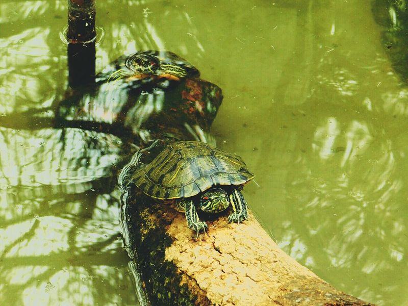 Turtles Swimming Wildlife Photography