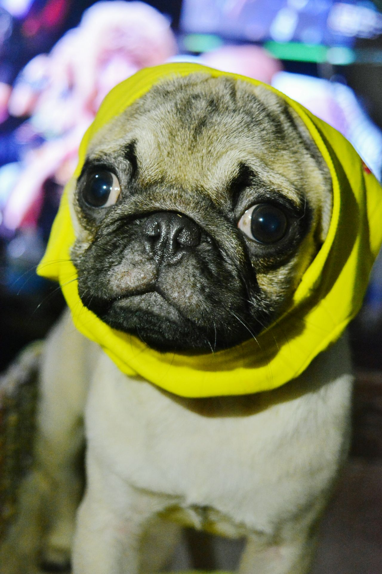 Yellow Animal Themes One Animal Close-up Looking At Camera Portrait Bird No People Indoors  Day Mammal EyeEm Phillipines Eyeemphotography Eyeem Philippines Puglover Pugsofinstagram Puglove  Pug Life ❤ Pug Time Pug Domestic Animals Studio Shot Dog Pets Eyeem Photography