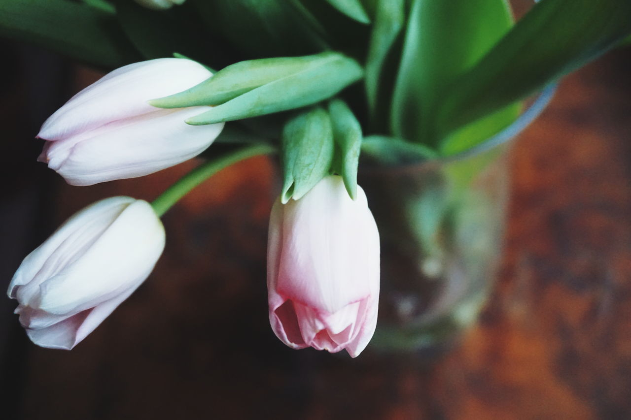 Close-Up Of Pink Tulips