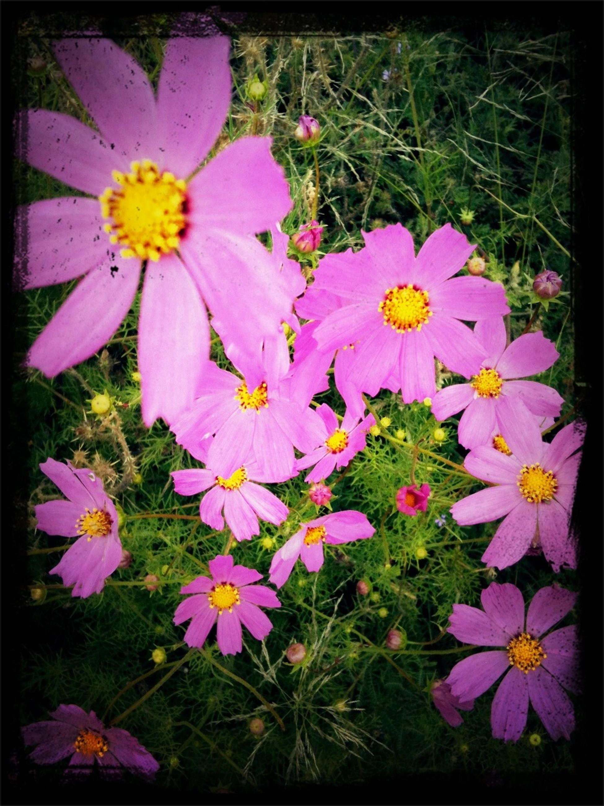 flower, petal, freshness, fragility, flower head, beauty in nature, growth, pink color, blooming, high angle view, nature, pollen, in bloom, close-up, plant, purple, field, stamen, blossom, pink