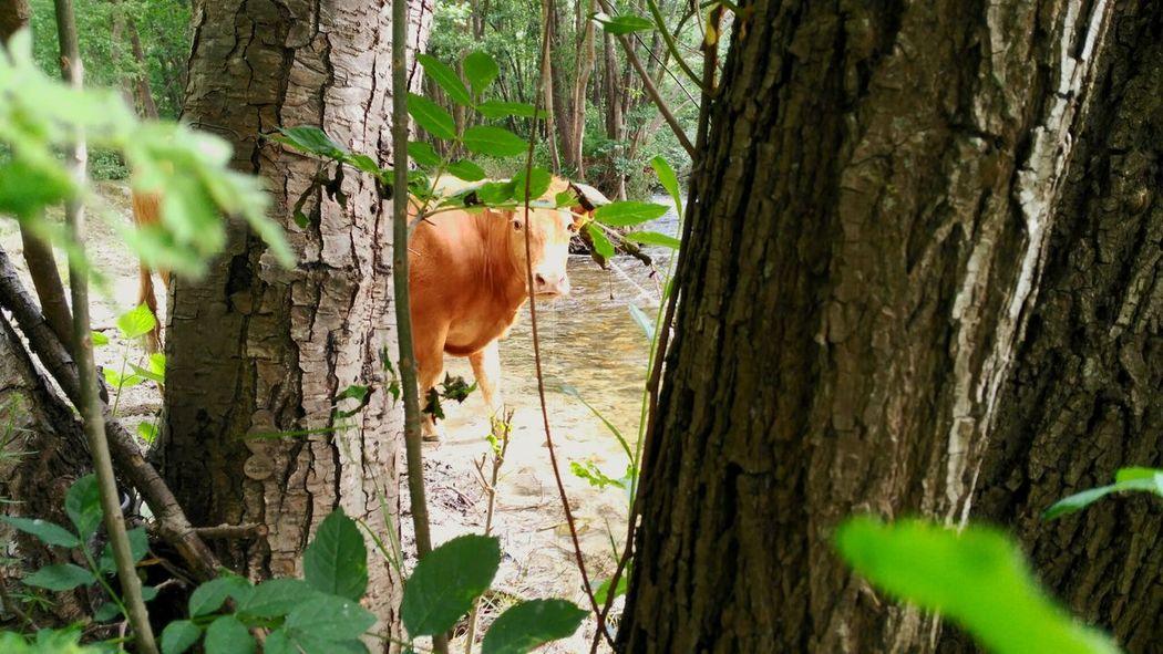 Vaca Beber Arboles Pirineos Campos Mañana BosqueCerdanya Rio Agua Catalunya Pirineoscatalanes Paisaje Bolvir Sol