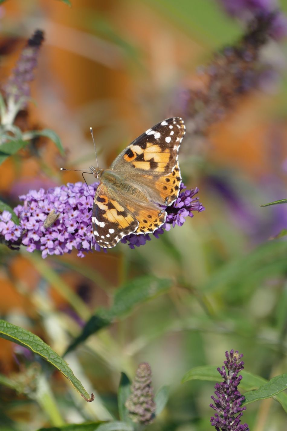 Flowers, Nature And Beauty Nature Photography Nature On Your Doorstep Natures Diversities Nature's Diversities Flowers,Plants & Garden Butterfly Butterflies Butterfly Collection Nature Painted Lady Painted Lady Butterfly Vanessa Cardui