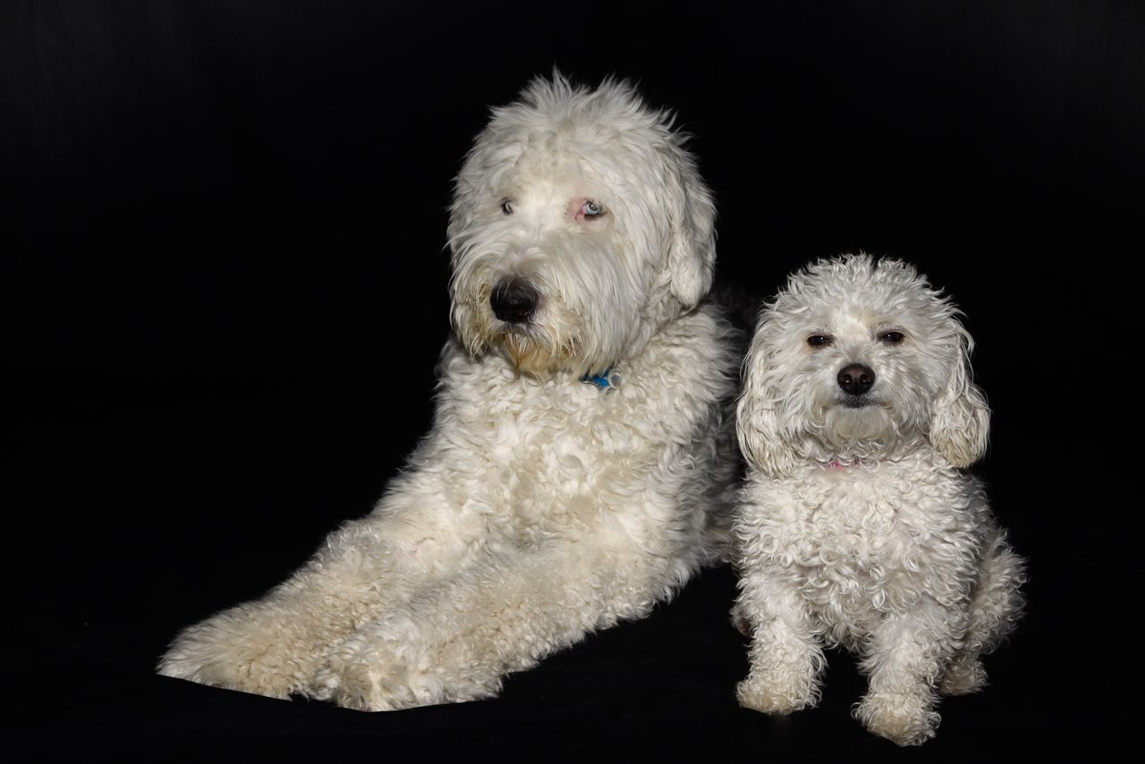 Dog Pets Black Background Domestic Animals Studio Shot Animal Themes Mammal Poodle West Highland White Terrier Togetherness Indoors  No People Day Old English Sheepdogs Bichonfrise Emotion Attitude