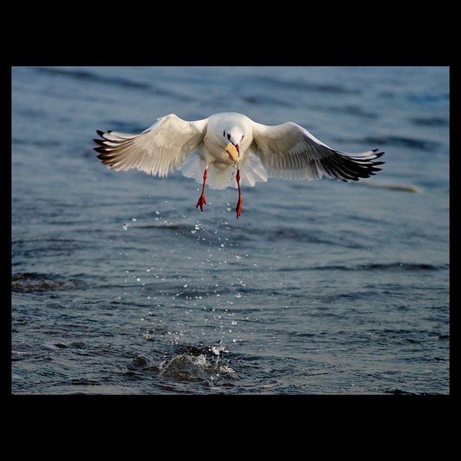 Ismailbalıphotography Martı Deniz Sea Seagull Oan Moment O_an Nikontop Nikon Grafimx Igturkey Photograph