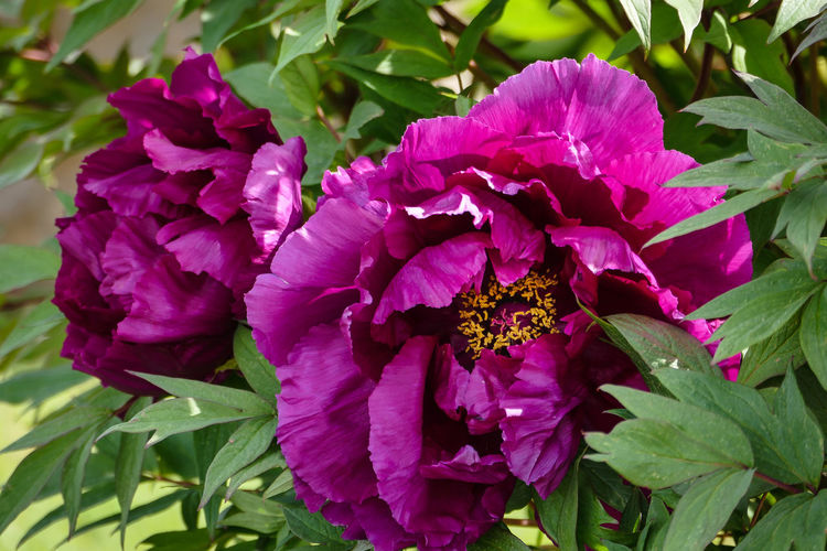 Garten Pflanze Natur Paeonia Suffruticosa Strauch Päonie Strauch-Pfingstrose Animal Themes Beauty In Nature Blooming Blütenschönheit Close-up Day Flower Flower Head Fragility Freshness Growth Leaf Nature No People Outdoors Petal Plant Purple