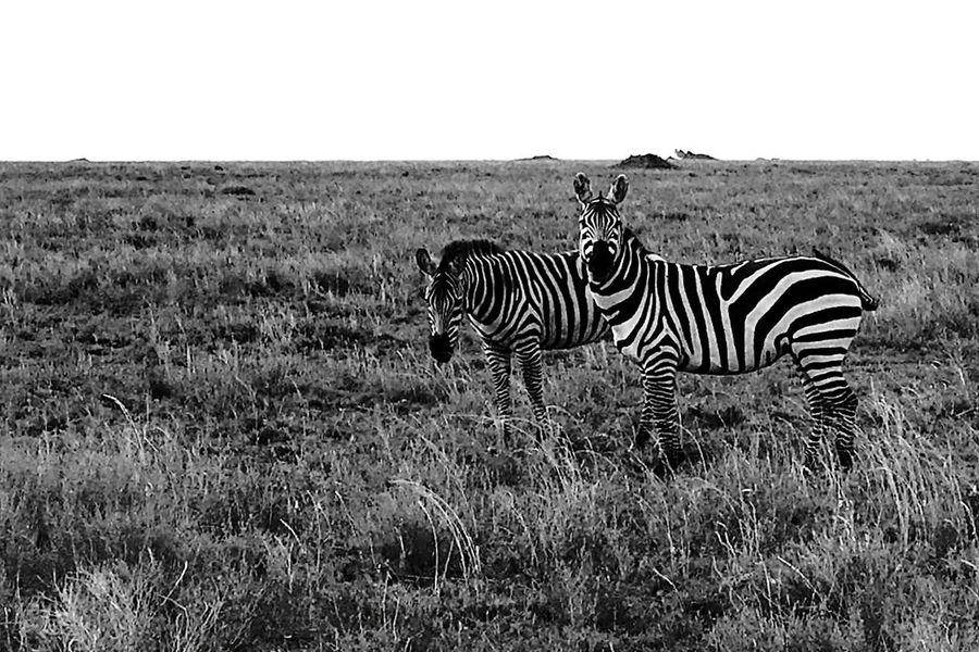 Be. Ready. Mammal Animal Themes Beauty In Nature Animals In The Wild Landscape Sky Nature Zebra Safari Animals