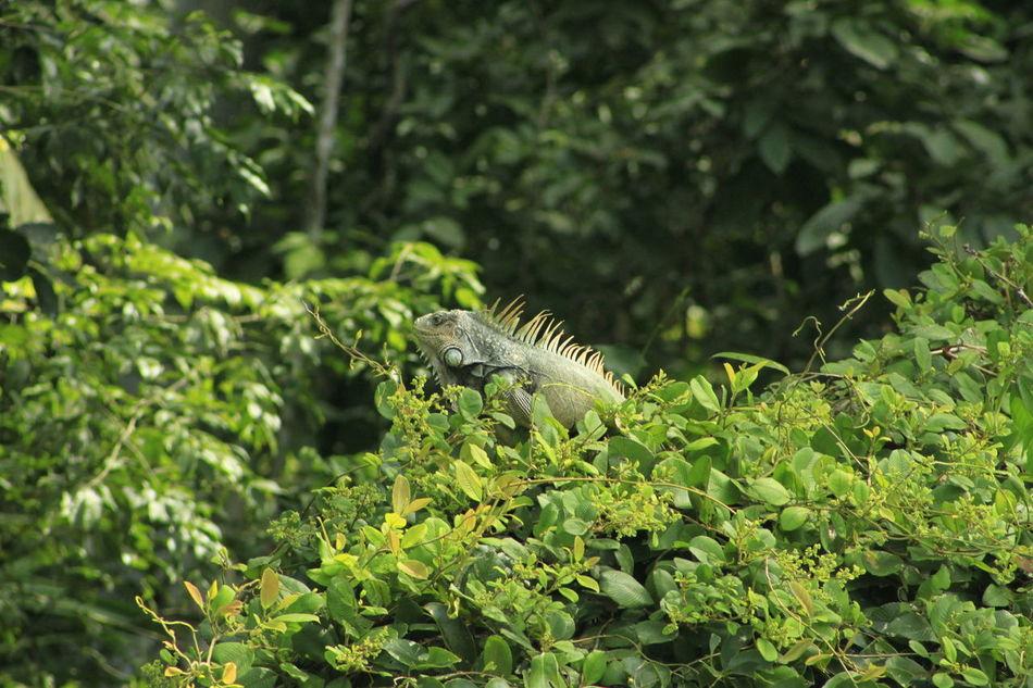 Animal Animal-iguana Green Color Iguana Iguana Taking The Sun Iguanaa