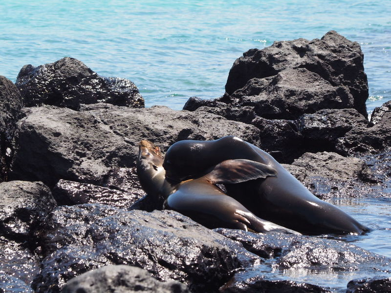 Frolicking sea lions in the Galapagos Islands Animal Themes Animal Wildlife Animals In The Wild Aquatic Mammal Galapagos Islands Mammal Nature No People Outdoors Sea Sea Life Sea Lions Water