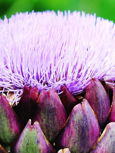 Purple Beauty In Nature No People Freshness Nature Close-up Flower Outdoors Flower Head Healthy Eating Day Fragility Globe Artichoke EyeEmNewHere
