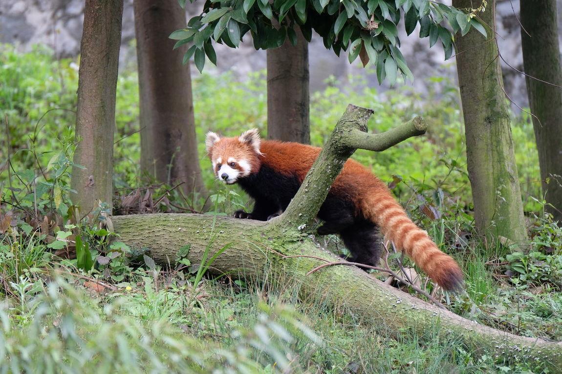 Panda Animal Animal Themes Animal Wildlife Chengdu Mammal Panda Panda - Animal Tree