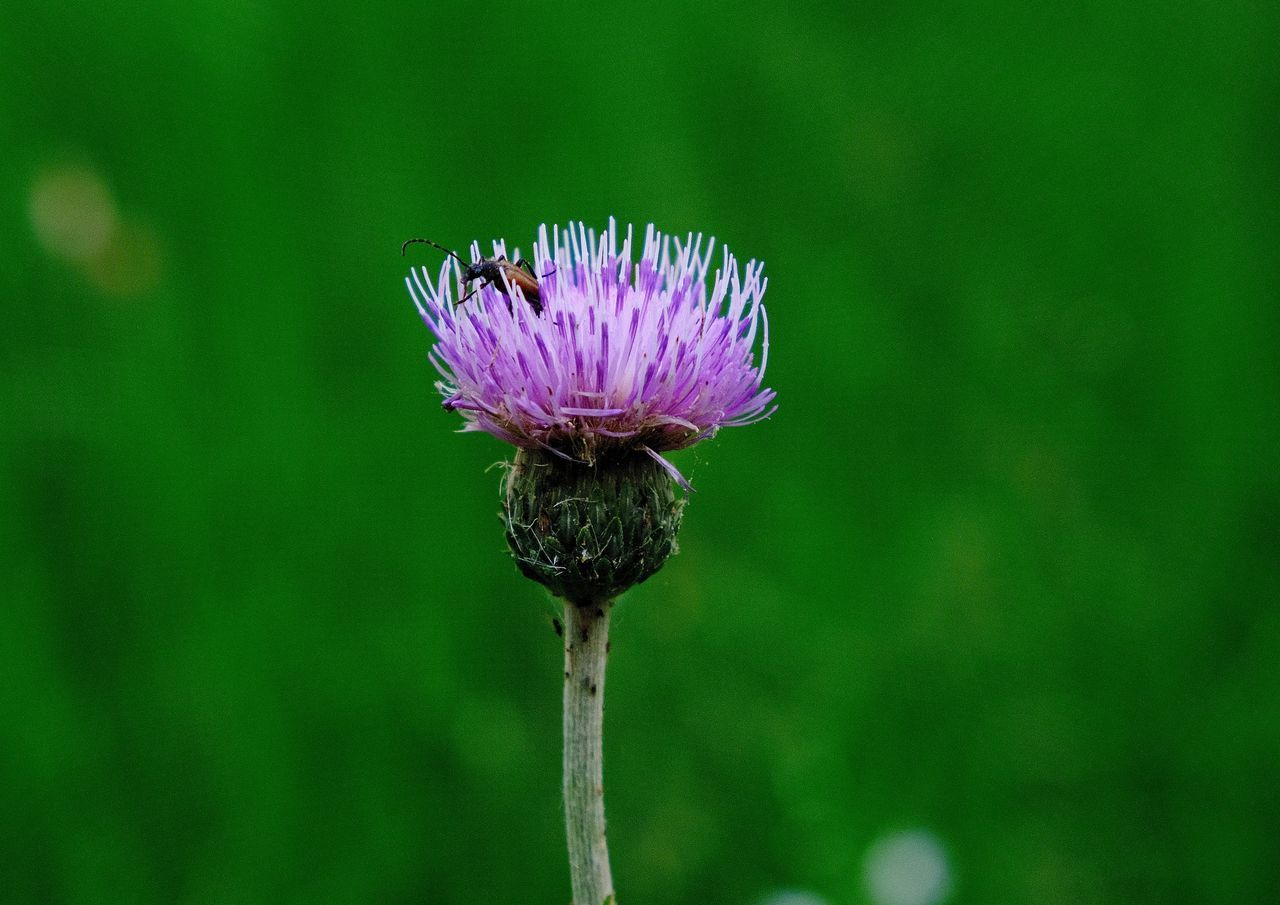 Animal Themes Beauty In Nature Blooming Flower Flower Head Focus On Foreground Insect Nature Outdoors Petal Purple Thistle