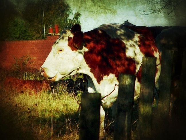 Collabs_Unlimited EyeEm Nature Lover This Is For Cows Your Photo My Edit