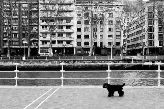 Blackandwhite Black And White Black & White Monochrome Streetphotography Street Photography Dog Animal Poodle