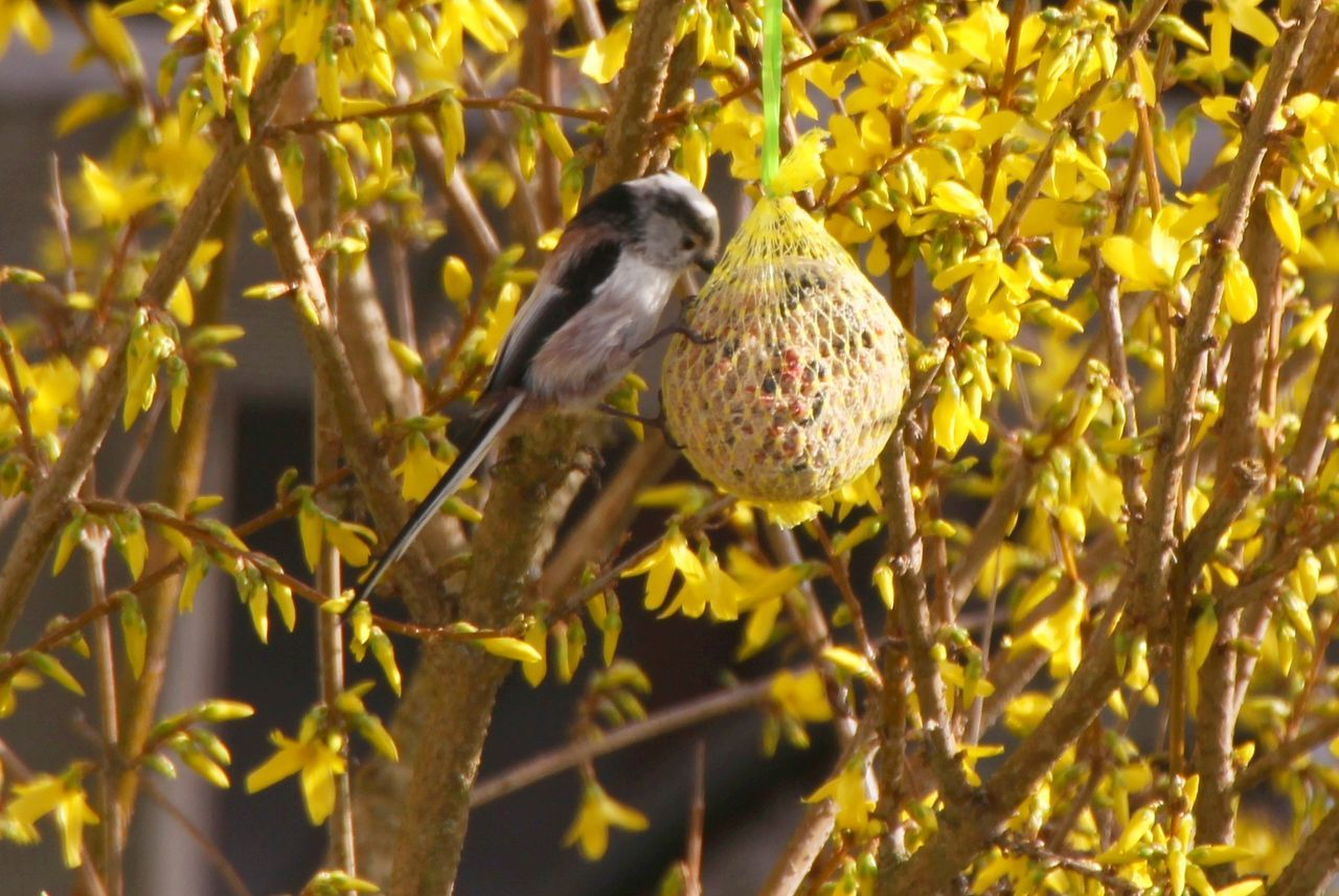 Animals In The Wild Beauty In Nature Bird EyeEm Nature Lover Focus On Foreground Forsythienblüten In My Garden Schwanzmeise Songbird  Wildlife
