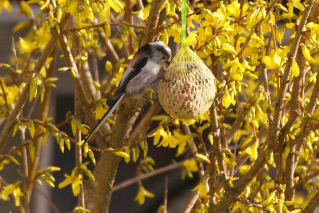 Animals In The Wild Beauty In Nature Bird EyeEm Nature Lover Focus On Foreground Forsythienblüten In My Garden Schwanzmeise Songbird  Wildlife