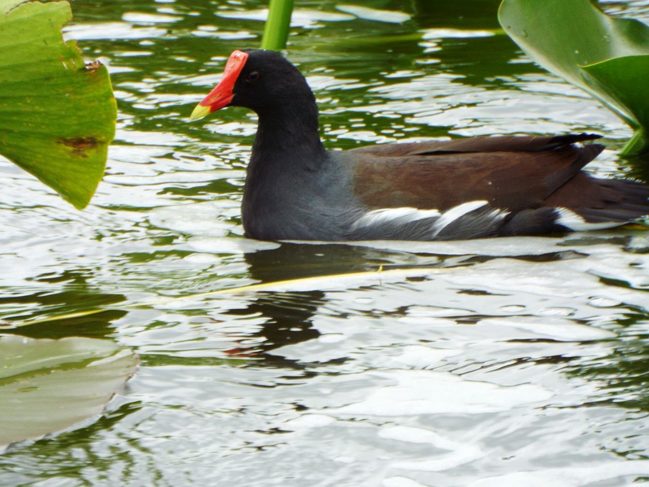 2. Hawaiian Moorhen /Alae,ula/Endangered Animals Hawwaii Birds🐦⛅ Secretive Native Florida Bird Photography Endangered Species Animals In The Wild Water Lily One Animal Solitude Wet Day Outdoors Nature Beauty In Nature Water Bird Floating On Water Animals In The Wild animal themes water bird wildlife waterbirds Legend