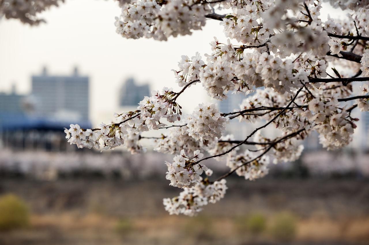 Beautiful stock photos of apple, Seoul, South Korea, abundance, apple blossom