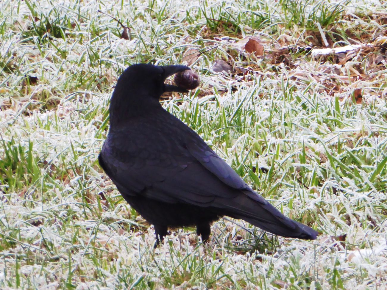 Frozen Ground Beauty In My Every Day Life For My Friends 😍😘🎁 Crow Playing Animals In The WildBrrrrrrrrr❄❄❄❄ Beauty In Winter😍 Frosty ⛄ Cold Outside ❄⛄  Wintertime ⛄ On My Way To Work Close-up Enjoying The View Crowlovers Animal Wildlife Nature