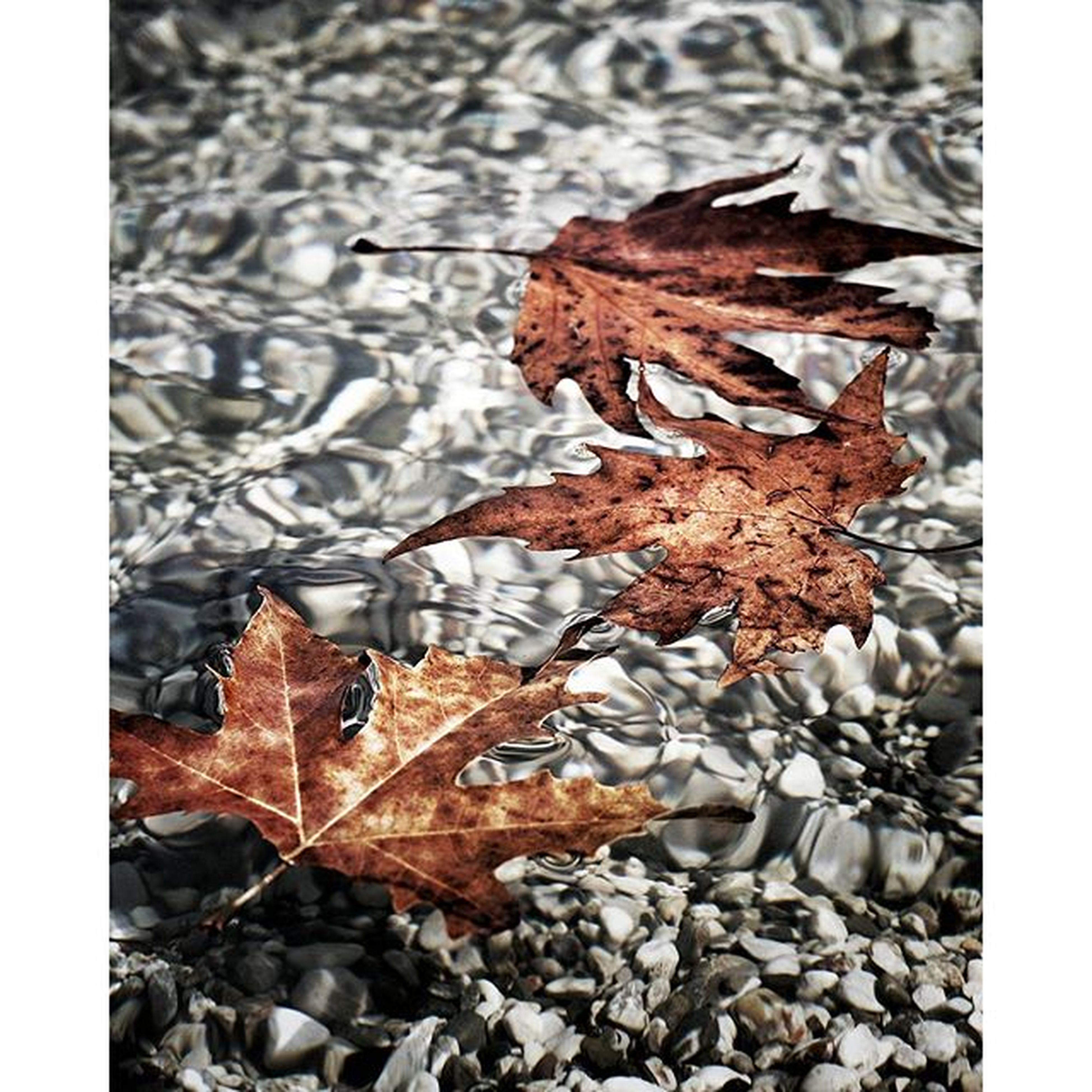 transfer print, autumn, leaf, auto post production filter, change, dry, season, leaves, fallen, nature, natural pattern, wet, maple leaf, close-up, water, outdoors, tranquility, day, no people, natural condition