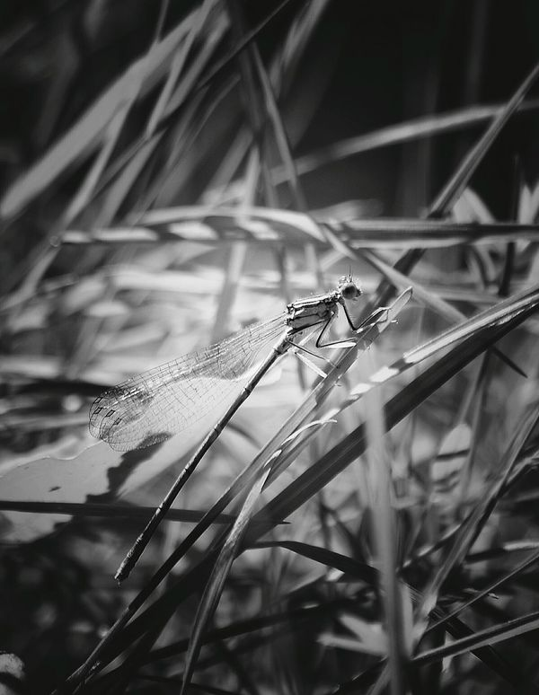 Dragonfly Dragonfly Nature Insects Insect Green Color Outdoors Leaf Focus On Foreground Plant Grass Beauty In Nature Nature Full Length Day Dragon Fly Blackandwhite Blackandwhite Photography Black & White Black And White Collection  Ważka