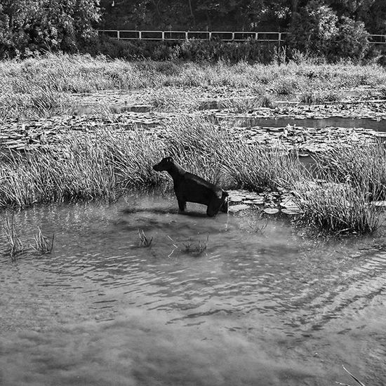 Doberman  Dobe Dobermann Hrubieszow dog animal nature