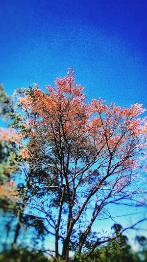 FireTree Nature_collection Tree TreePorn Tree Costa Rica Costa Rica 🇨🇷 Costa Rica❤ San Jose, Costa Rica San Jose EyeEm Nature Lover EyeEm Gallery EyeEm Nature Blue No People Low Angle View Day Beauty In Nature Sky