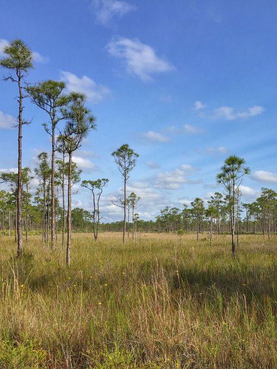 Sawgrass & pines Jonathan Dickinson State Park Florida Park Sawgrass Pine Trees Pines Nature's Diversities