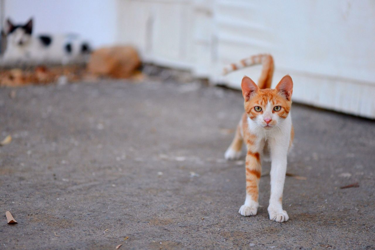 Beautiful stock photos of cute, Animal Themes, Cat, Day, Domestic Animals